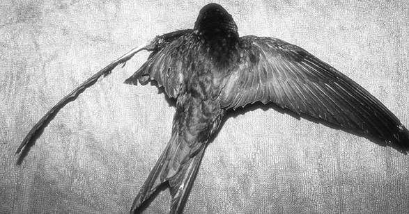 Veterinary Help for Common Swifts